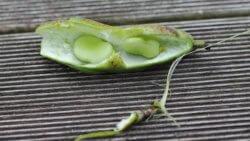 Frucht der Saubohne